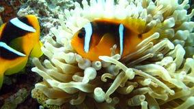 Anemonefish o coppie del clownfish nel Mar Rosso Fotografia Stock Libera da Diritti