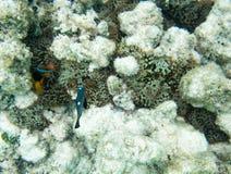 Anemonefish och dominobrickaung ogift kvinna Royaltyfri Fotografi