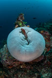 Anemonefish och rev 2 Arkivfoto