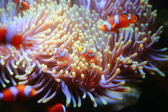 Anemonefish Stock Image