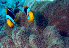Anemonefish pair Stock Photo