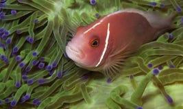 Anemonefish rosados en una anémona verde Imagen de archivo libre de regalías