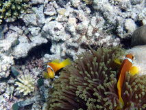 Anemonefish roses ou clownfish roses de mouffette, Maldives images stock