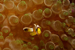 anemonefish saddleback Στοκ φωτογραφίες με δικαίωμα ελεύθερης χρήσης