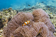 Anemonefish at Similan national park Stock Images