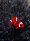 anemonefish spinecheek Στοκ φωτογραφία με δικαίωμα ελεύθερης χρήσης