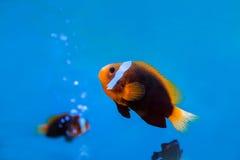 anemonefish subacuáticos en agua azul en el acuario Imagenes de archivo