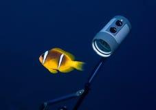 anemonefish substrobe Στοκ φωτογραφίες με δικαίωμα ελεύθερης χρήσης