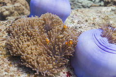 Anemonefish at Surin national park Stock Image