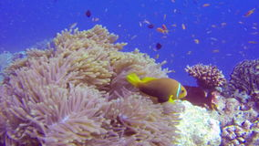 Anemonefish swimming in anemone coral stock footage