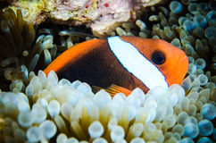 Anemonefish swimming Bunaken Sulawesi  Indonesia underwater amphiprion rubrocinctus Stock Photo
