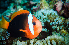 Anemonefish swimming Bunaken Sulawesi  Indonesia underwater amphiprion rubrocinctus Royalty Free Stock Image