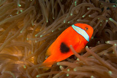 Anemonefish (tomat) Fotografering för Bildbyråer