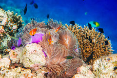 Anemonefish. Topical saltwater fish ,clownfish - Coral reef in the Maldives, Anemonefish stock photo