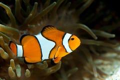 Anemonefish tussen een anemoon Stock Afbeelding