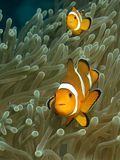 Anemonefish. Two anemonefish in their host anemone photographed on thte Andaman coast of Thailand stock image