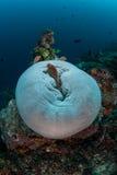 Anemonefish und Riff 2 Stockfoto