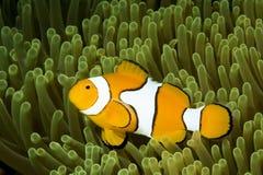 anemonefishclown Royaltyfri Foto