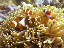 anemonefishclownfish Royaltyfria Foton