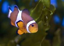 anemonefishclownfishnemo Royaltyfri Fotografi