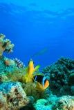 anemonefishes Ερυθρά Θάλασσα Στοκ Εικόνα