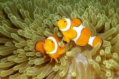 anemonefishes κλόουν δύο Στοκ Εικόνες