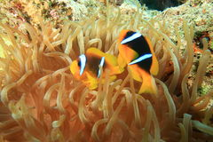 Anemonefishes. Pair of Red Sea Anemonefish in a Bubble Anemone Stock Images