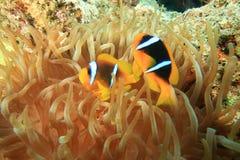 anemonefishes Στοκ Εικόνες