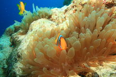 Anemonefishes. Pair of Red Sea Anemonefish in a Bubble Anemone Royalty Free Stock Images