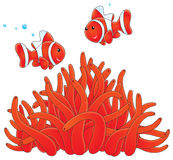 Anemonefishes and actinia Royalty Free Stock Photos