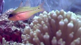 Anemonen, amphiprionen och någon fiskar i det zulu- havet Dumaguete för koraller arkivfilmer
