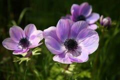 anemonen blommar den purpura fjädern Royaltyfria Foton