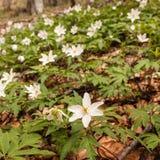 anemonen blommar vitt trä Arkivfoton