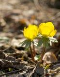 anemonen blommar yellow Arkivfoto