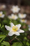 Anemonen den vita våren blommar i skogen Arkivfoto