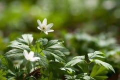 Anemonen för vita blommor i skog fjädrar först blommor Arkivbild