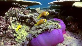 Anemonen und Clownfische maldives stock footage