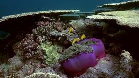 Anemonen und Clownfische maldives stock video footage