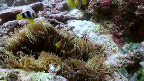 Anemonen und mehrfarbige Clownfische maldives stock video