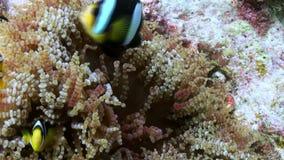 Anemonen und mehrfarbige Clownfische maldives stock video footage
