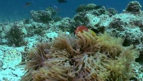Anemonen und mehrfarbige Clownfische maldives stock footage