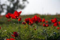 Anemonenblüte Stockfoto