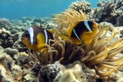 Anemonenfische (Amphiprion bicinctus)) im Hintergrund mit Anemone Stockfotos