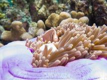 Anemonenfische in einer Anemone Lizenzfreie Stockfotos