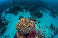 Anemonenfische und -Meeresflora und -fauna in Nationalpark Wakatobi, Indonesi Lizenzfreies Stockfoto