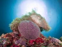 Anemonenkoralle Malediven Stockfotografie