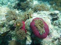 anemoner Fotografering för Bildbyråer