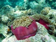 anemoner Royaltyfri Bild