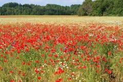 anemoner Royaltyfri Fotografi