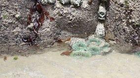 Anemoner för grönt hav i en tidvattenpöl i Oregon stock video